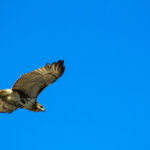 Buzzard Flying